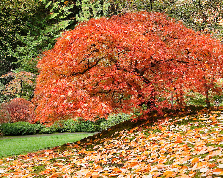 Japanese maple with fall colors surrounded in carpet of fall leaves on small hill in the Portland Japanese Garden